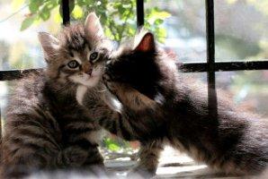 Allergia al gatto non dipende dal pelo del gatto dalla proteina Fel D1. Il gatto siberiano provoca meno allergie
