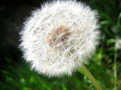 Allergia al Polline allergia a graminacee, betulla, pioppo, parietaria. Sintomi e cura allergia ai pollini i Test medici